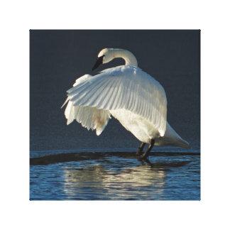 Impressão Em Canvas Flapping da cisne de trompetista