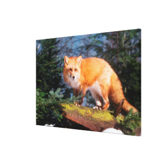 Impressão Em Canvas Fox vermelho em um registro