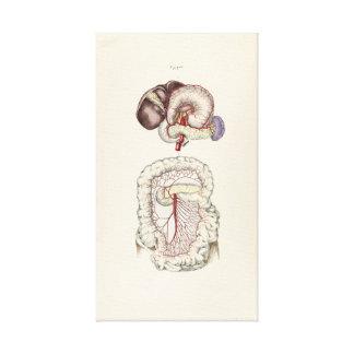 Impressão Em Canvas Ilustração do vintage do sistema digestivo humano