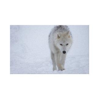 Impressão Em Canvas Lobo ártico branco que anda na neve