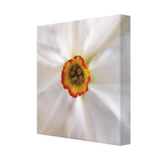 Impressão Em Canvas narciso do branco da pérola