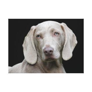 Impressão Em Canvas Olhos do filhote de cachorro de Weimaraner