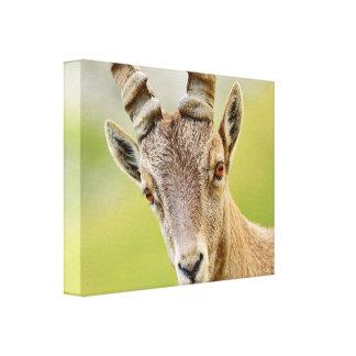Impressão Em Canvas Retrato de um íbex