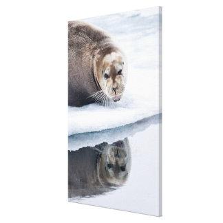 Impressão Em Canvas Selo farpado no gelo, Noruega