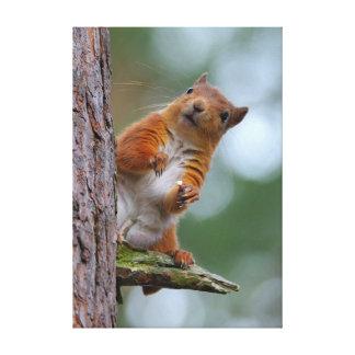 Impressão Em Tela Esquilo vermelho selvagem na foto escocesa das