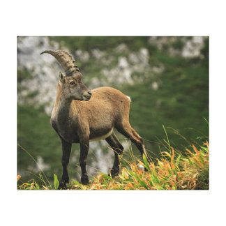 Impressão Em Tela Íbex selvagem alpino, da cabra, ou steinbock