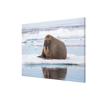 Impressão Em Tela Morsa que descansa no gelo, Noruega