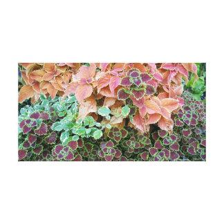 Impressão Em Tela O Coleus colorido do arco-íris planta a fotografia