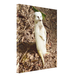 Impressão Em Tela Pele branca rara que está Meerkat,