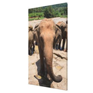 Impressão Em Tela Retrato do grupo do elefante, Sri Lanka