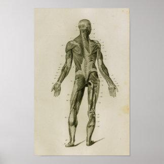 Impressão humano da anatomia do vintage do