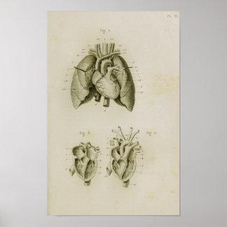 Impressão humano da anatomia do vintage do coração