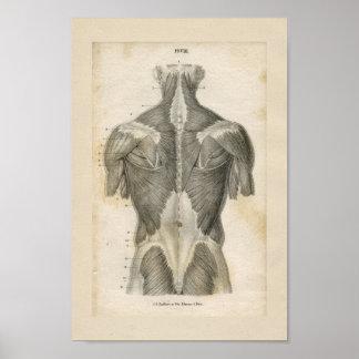 Impressão humano da anatomia do vintage do músculo