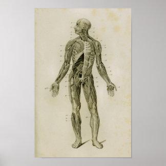 Impressão humano da anatomia do vintage do sistema