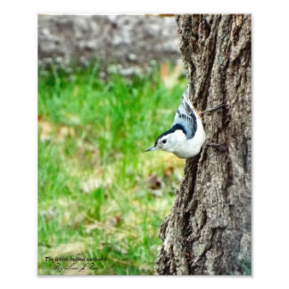 Impressão inchado branco do pica-pau-cinzento foto