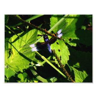 Impressão mais magro da foto da libélula da viúva impressão de foto