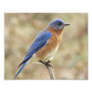 Impressão oriental da foto do Bluebird