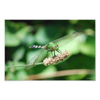 Impressão oriental da libélula de Pondhawk Foto