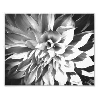 Impressão preto & branco 8 x 10 do crisântemo impressão de foto