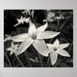 Impressão preto e branco de Starflower