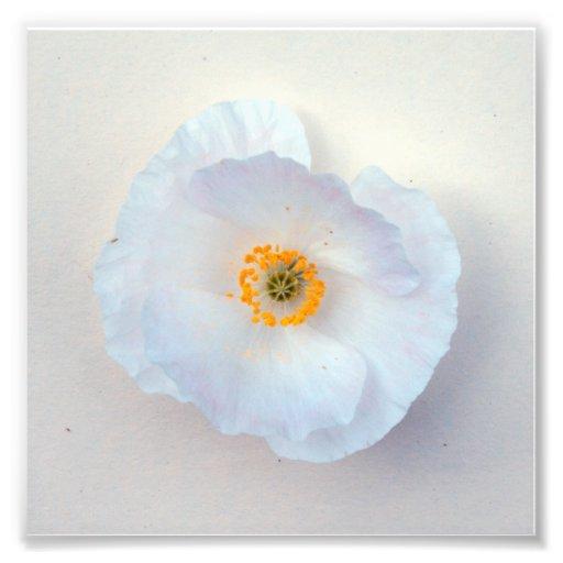 Impressão simples e doce da flor branca da papoila artes de fotos