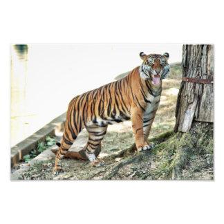 Impressão snarling do tigre foto
