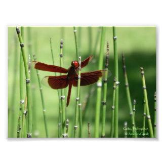 Impressão vermelho da libélula impressão fotográfica