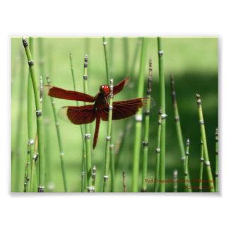 Impressão vermelho da libélula impressão de foto