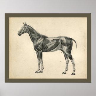 Impressão veterinário da anatomia do músculo do