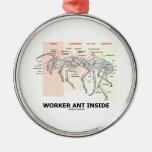 Interior da formiga do trabalhador (anatomia da ornamento