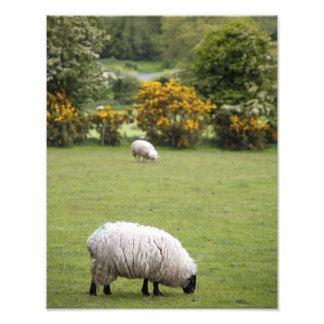 Ireland ocidental, um cheio tosou preto-enfrentado foto artes
