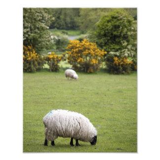 Ireland ocidental, um cheio tosou preto-enfrentado impressão de foto