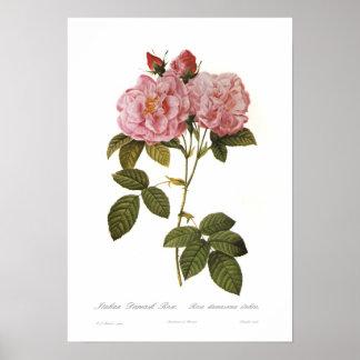 Italica do damascena de Rosa Pôster