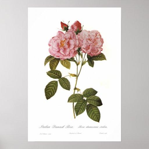 Italica do damascena de Rosa Posters