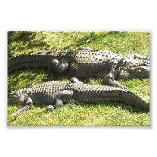 Jacaré do pântano de Florida Impressão Fotográfica