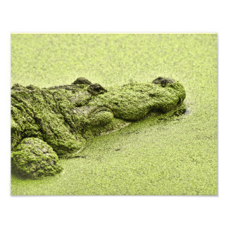 Jacaré - verde na lentilha-d'água impressão de foto