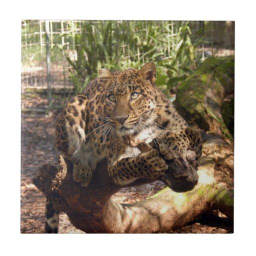 Jaguar 1011 azulejo