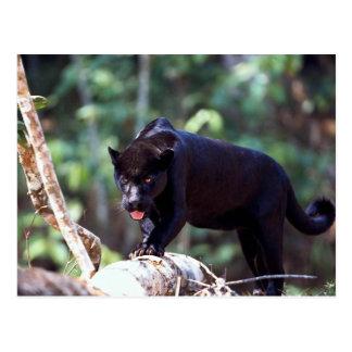 Jaguar, preto-fase (onca do Panthera) Cartão Postal