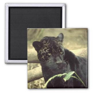 Jaguar preto ímã quadrado