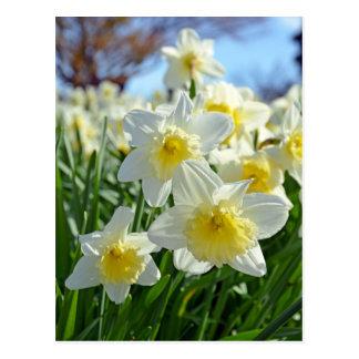 Jardim amarelo e branco bonito dos daffodils cartão postal