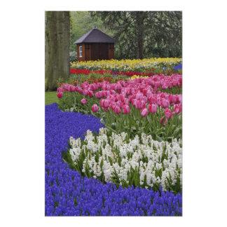 Jardim do jacinto de uva, do jacinto e das tulipas artes de fotos