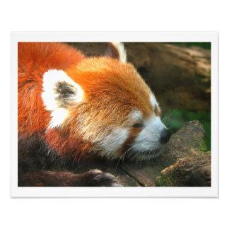 Jardim zoológico de Cleveland da panda vermelha Impressão De Foto