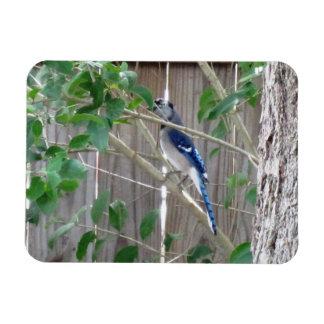Jay azul que esconde - ímã da natureza