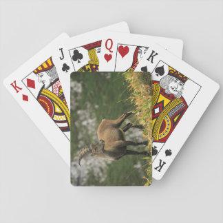 Jogo De Carta Íbex selvagem alpino, da cabra, ou steinbock