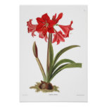 Johnsoni do Amaryllis Poster
