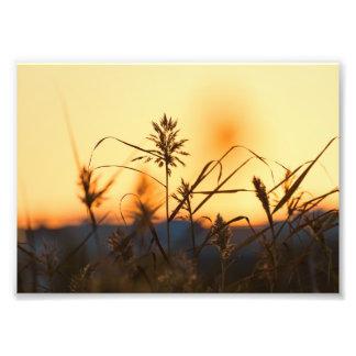 Juncos na luz do por do sol na cópia da foto