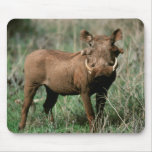 Kenya, Warthog que olha a câmera