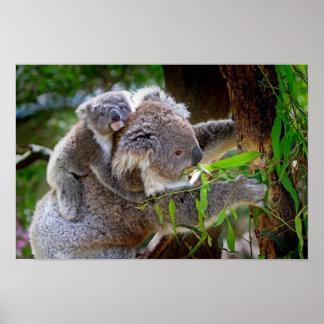 Koalas do Mama e do bebê Pôster
