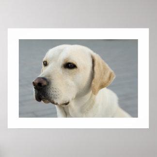Labrador dourado poster