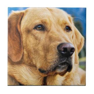 Labrador retriever dourado azulejo quadrado pequeno